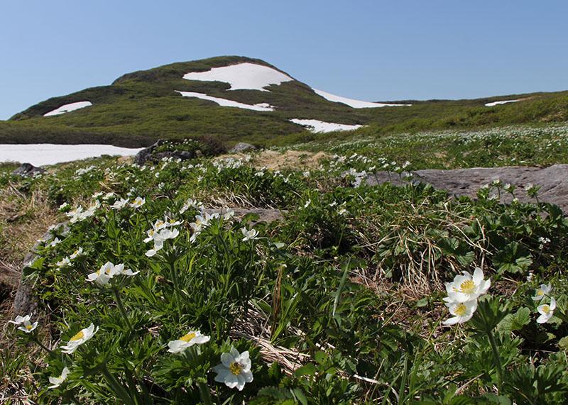 焼石岳の頂を背にした姥石平のハクサンイチゲの群生